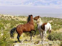 Wild Horses being playful