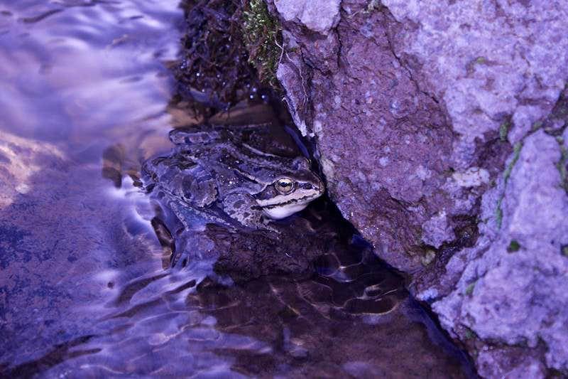 Iranian Banded Frog