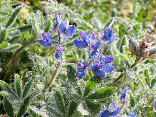 Morning Dew on Lupine