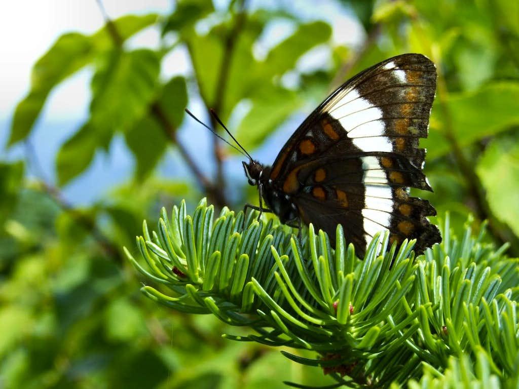 Butterfly on Mount Flume