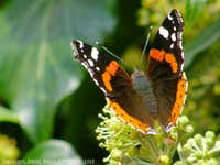Red Admiral - Butterfly