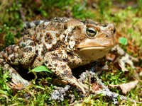 Toad on Mount Willey