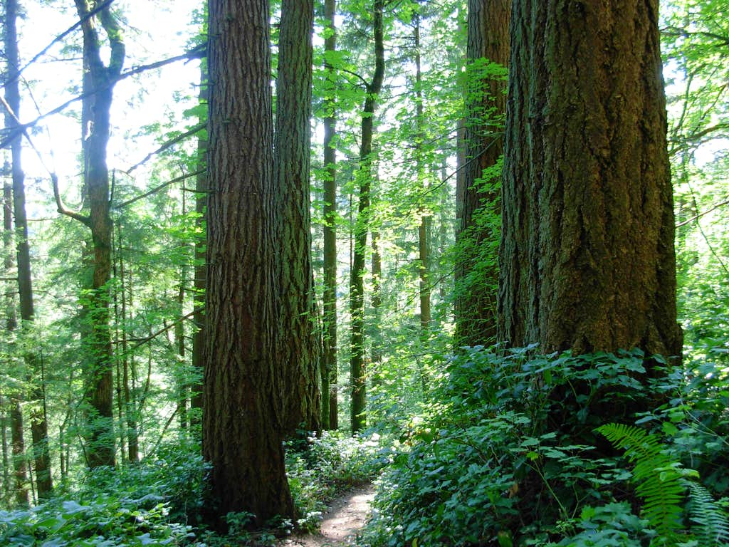 Old-Growth on Cougar Mountain