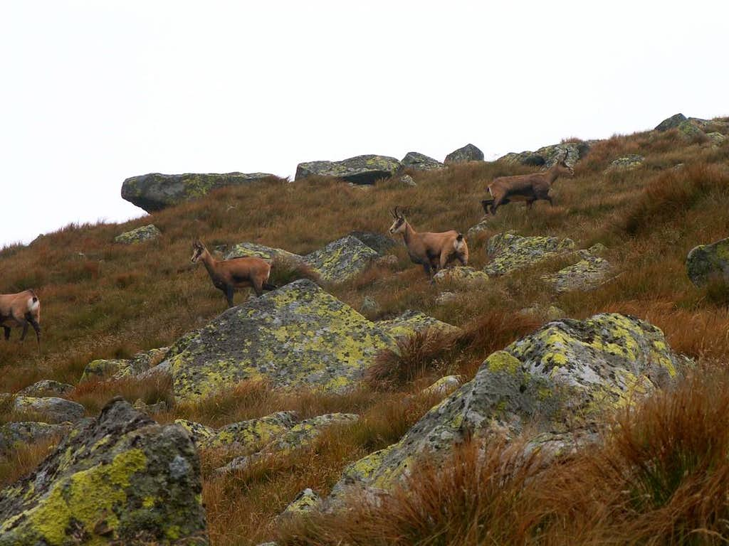 Herd of chamoises