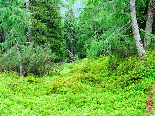 The forest under Liesgelespitze
