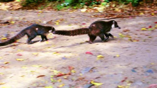 Coatis seen at the trailhead...