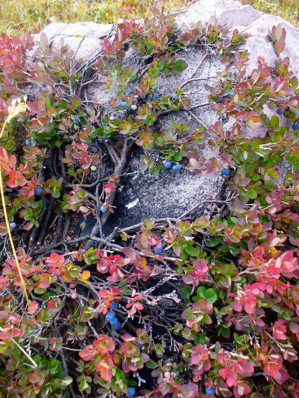 Bilberry in Garfield Basin