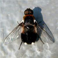 Bulbfly (merodon equestris)