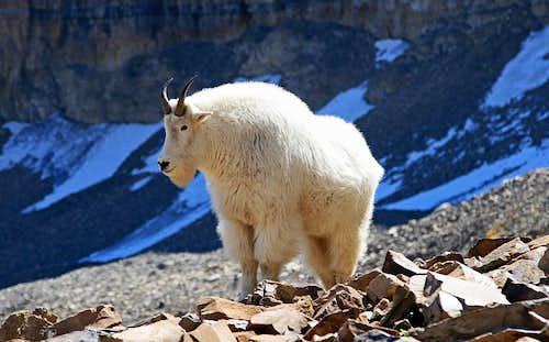 Mtn Goats on Mt. Timpanogos