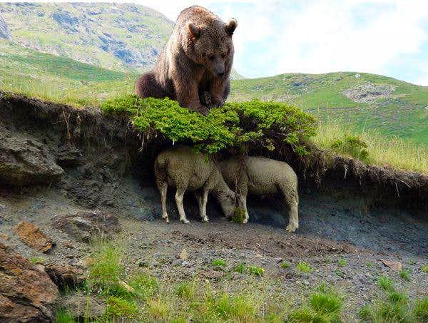 Sheep predators