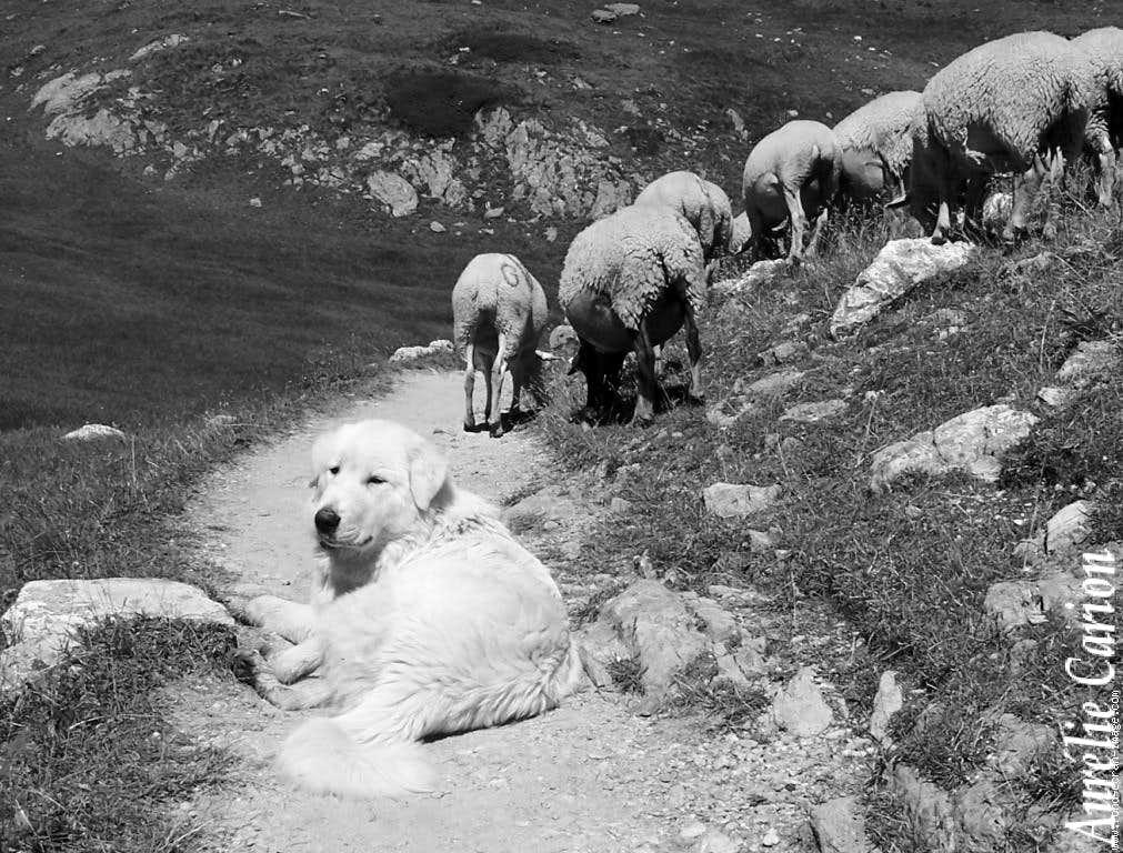 Pyreneans dog (Patou)