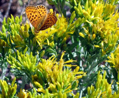 Fritillary on Yellow Rabbitbrush
