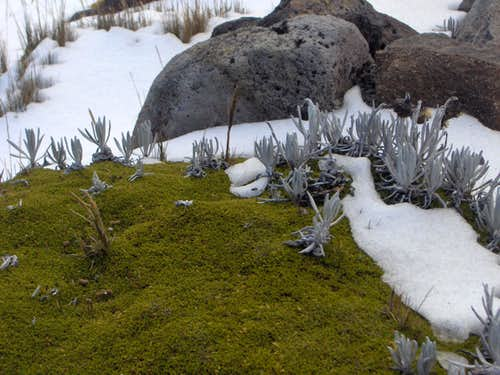 Andean moss