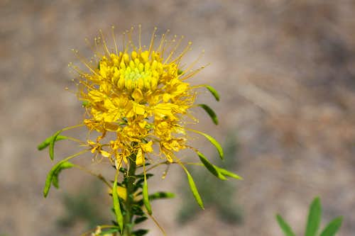 Yellow Beeplant