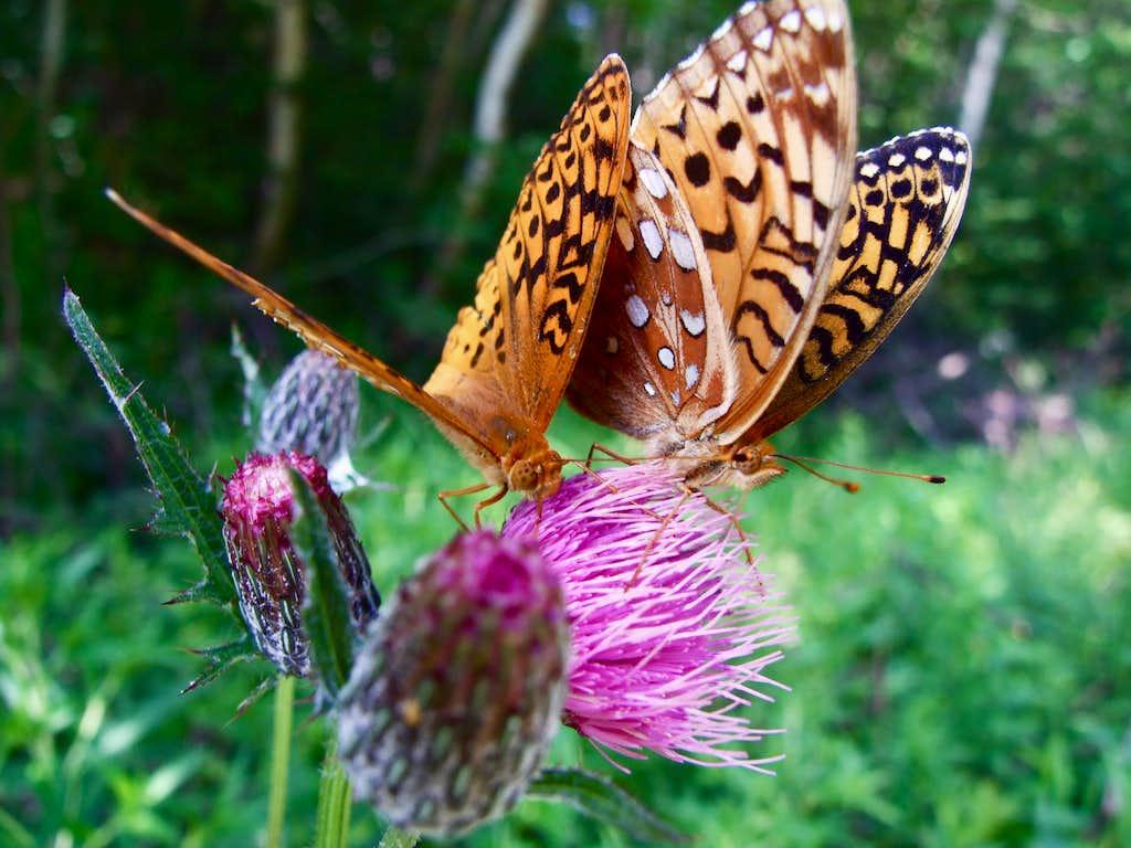 Butterflies On Crocker