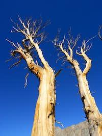 Whitebark Pine at Treeline
