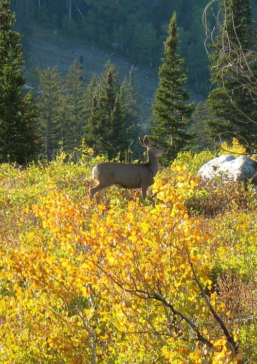 Deer in Big Cottonwood Canyon