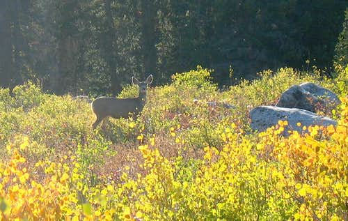 Deer in Big Cottonwood Canyon