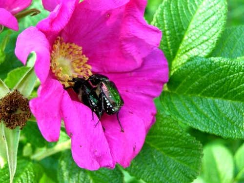Rose Chafer Couple