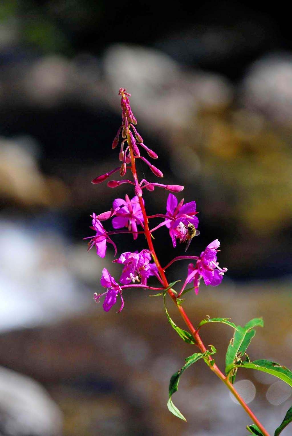 Fireweed and Bee