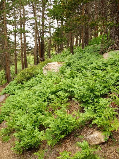 Ferns near Vidette Meadow