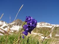 Wildflower in American Basin