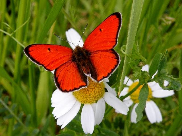 Male Large Copper Butterfly