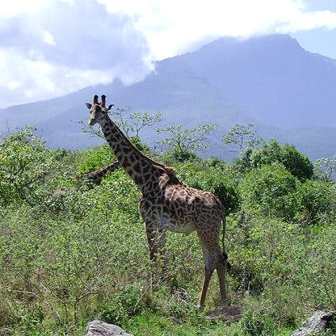 Giraffe and Mount Meru. One...