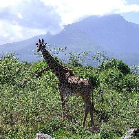 Giraffe and Mount Meru. One...