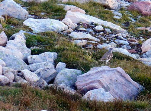 Ptarmigans on Bluebell\'s slopes