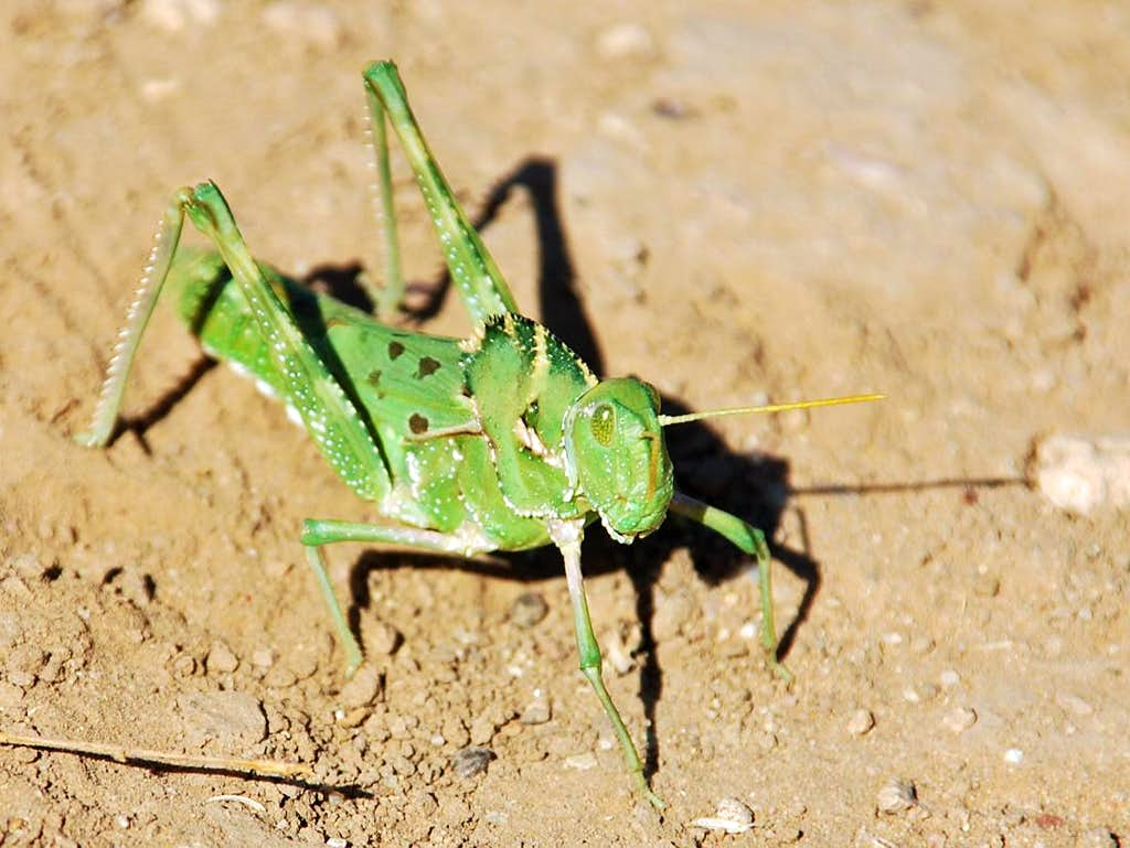 Four-spotted grasshopper