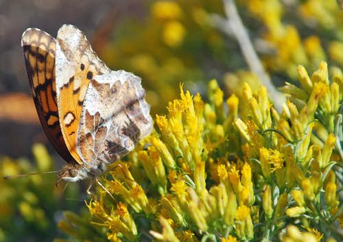 Variegated Fritillary and Rabbitbrush