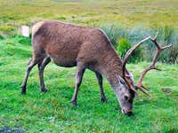 Stag in the Blackmount
