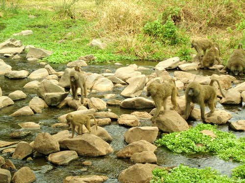 Baboons crossing a river