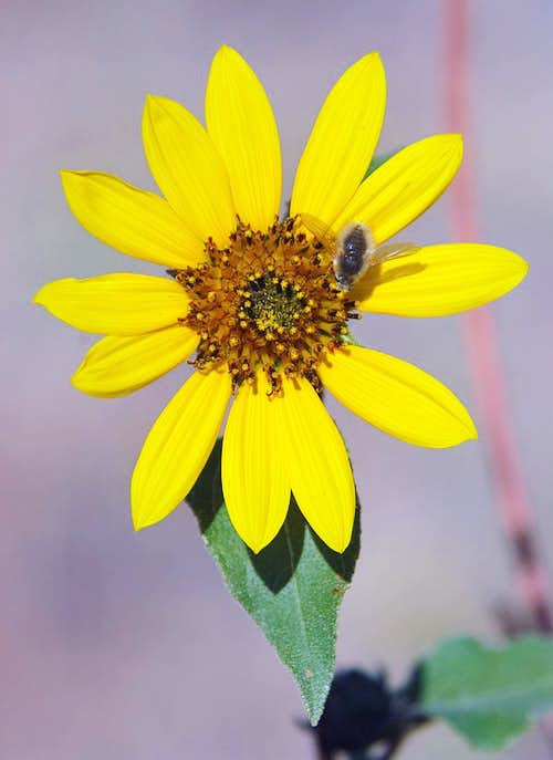 Bee Fly and Sunflower