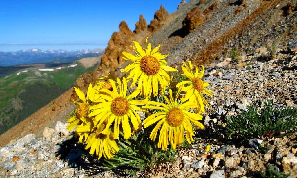 Italian Mountain Sunflowers