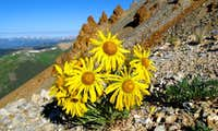 Italian Mountain Sunflowers