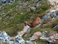 Young chamois of the Tatras