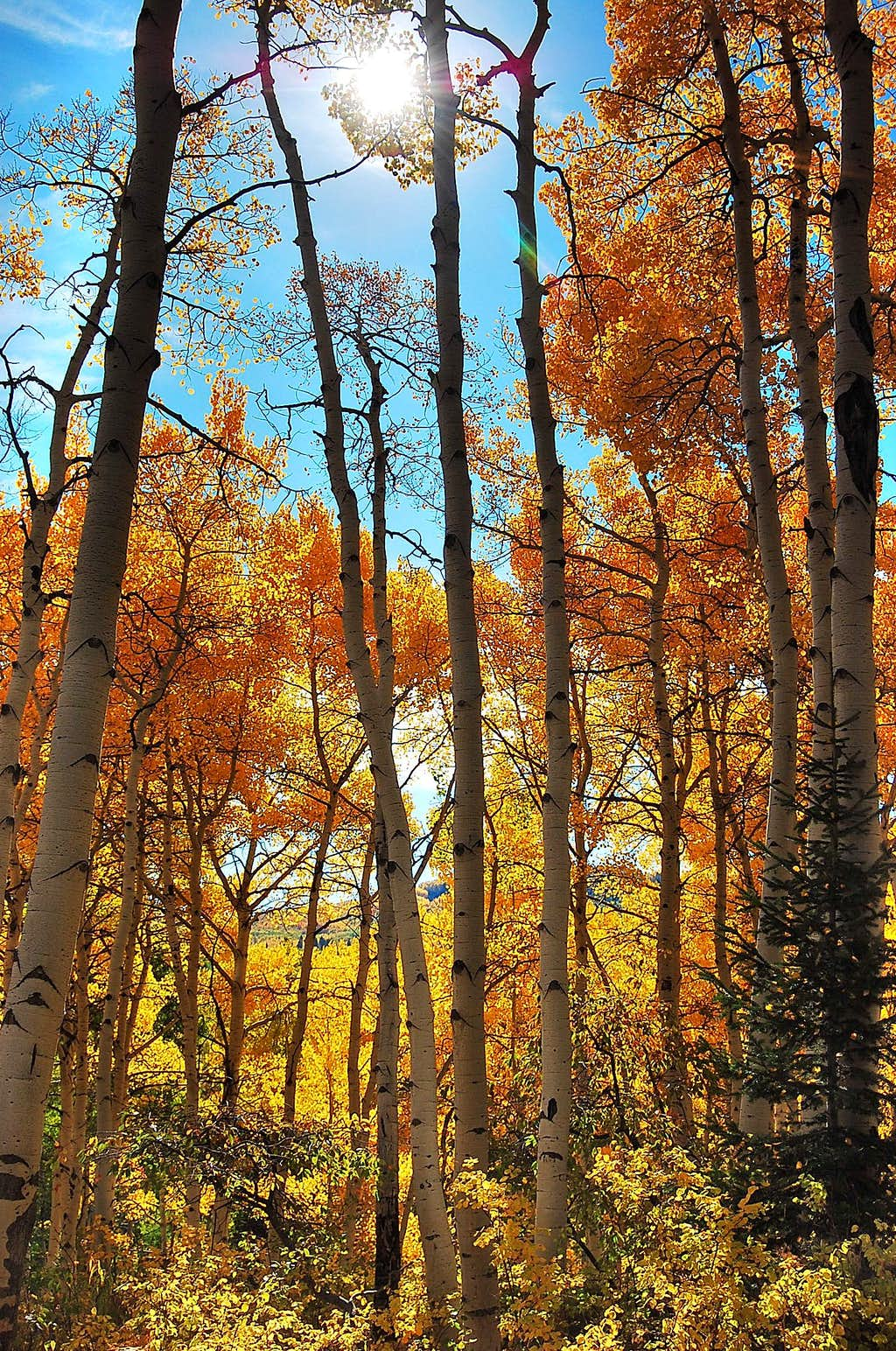 Sunshine in the Aspens