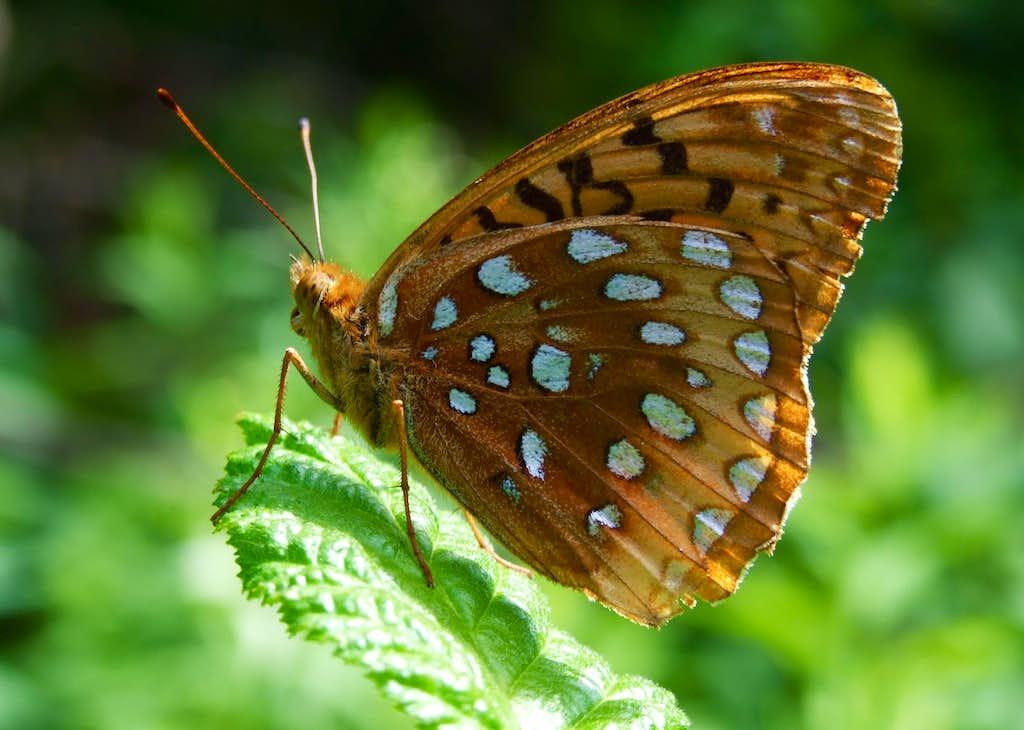 Butterfly On Crocker