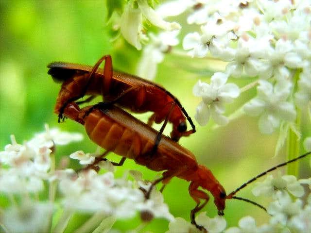 A Pair of Red Soldier Beetles