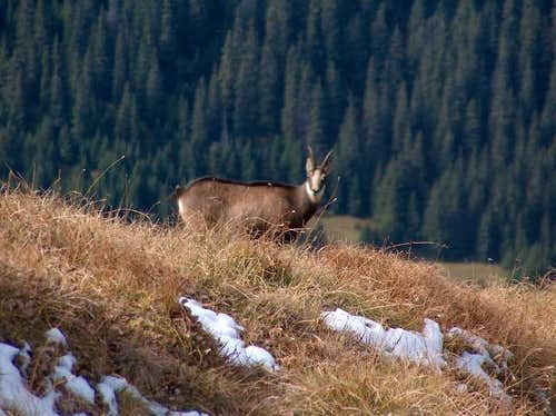 Chamois of the Tatras