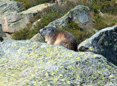 Marmot of the Pyrenees
