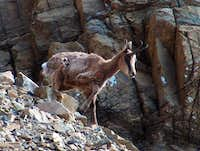 Chamois (Isard) of the Pyrenees