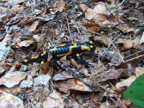 Salamandra in the Polish Beskidy
