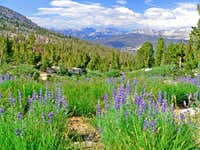 Lupine and the Sierra crest from Cathedral Range