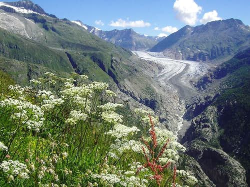 Aletsch with flowers