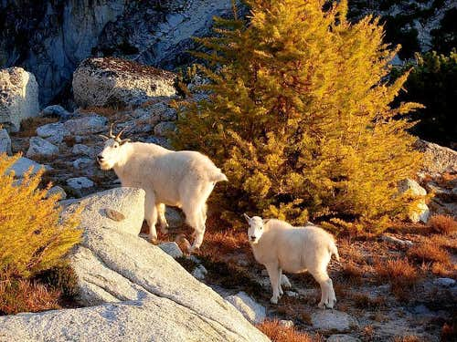 Enchantment goats at Golden Larch time