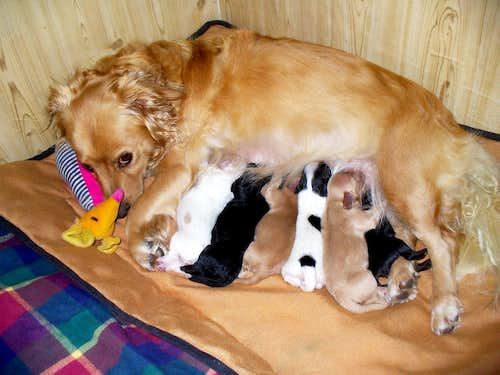 8 week old golden retriever puppy pictures. Miniature Golden Retriever?