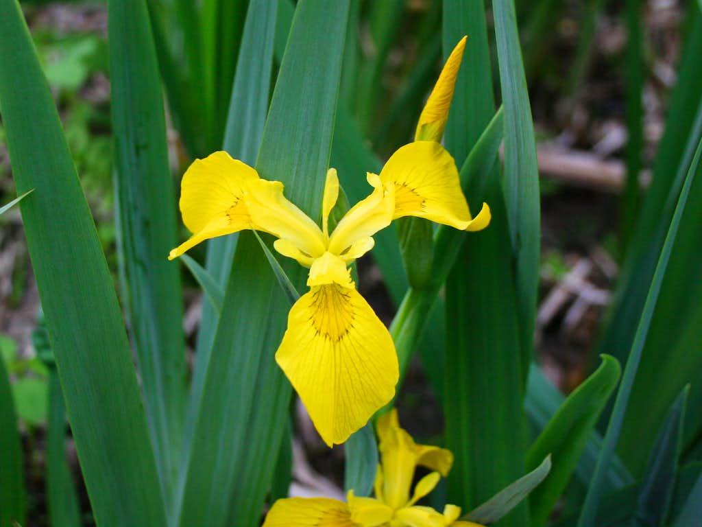 Iris, Yellow Flag
